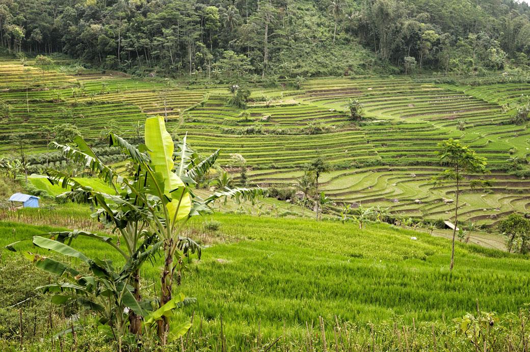 Rizières et bananiers près de Magelang, Indonésie