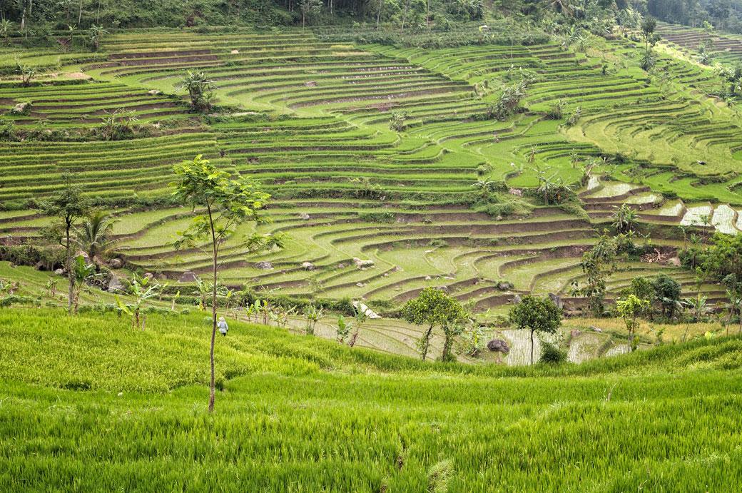 Belles cultures de rizières en terrasse près de Magelang, Indonésie