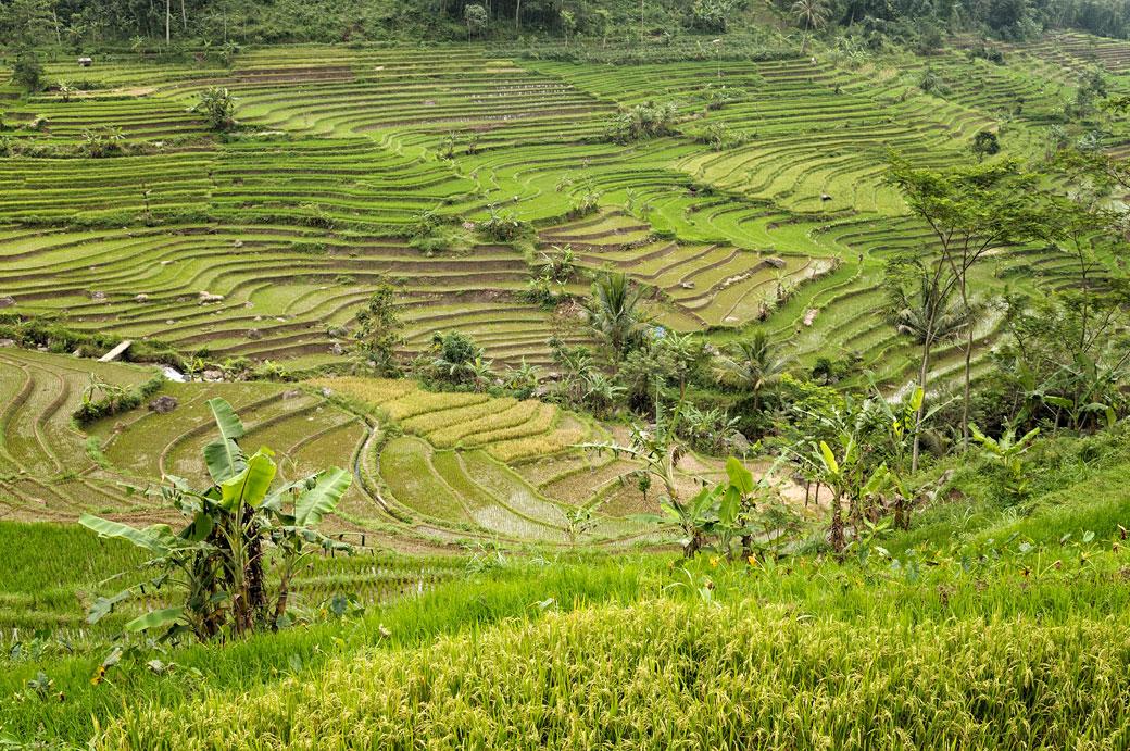 Rizières de Java en terrasse près de Magelang, Indonésie