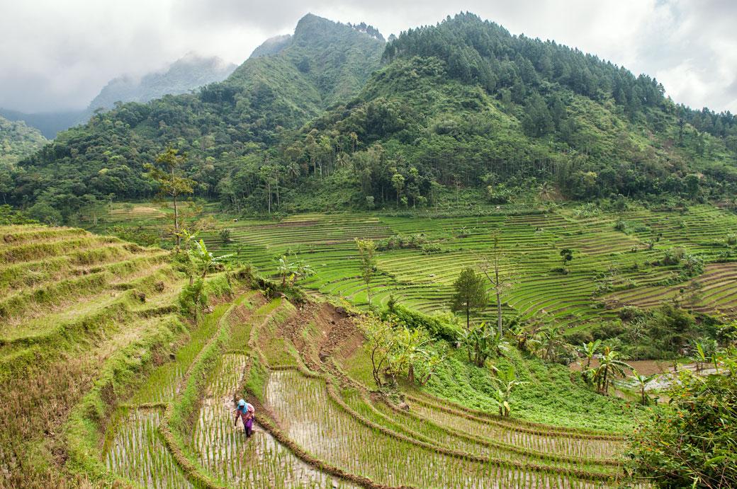 Femme dans les rizières en terrasse près de Magelang, Indonésie