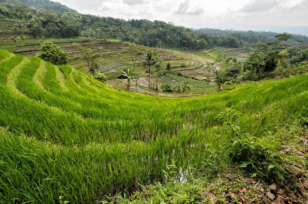 Les rizières de Java près de Magelang, Indonésie