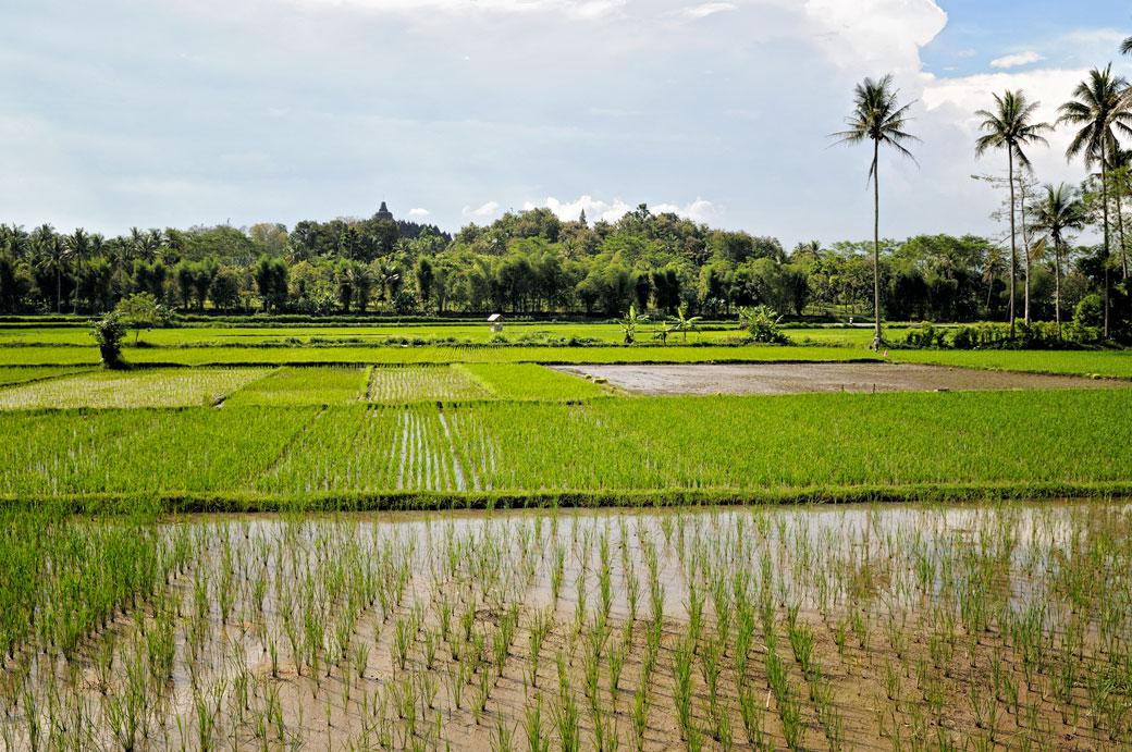Rizières et palmiers près du temple de Borobudur, Indonésie