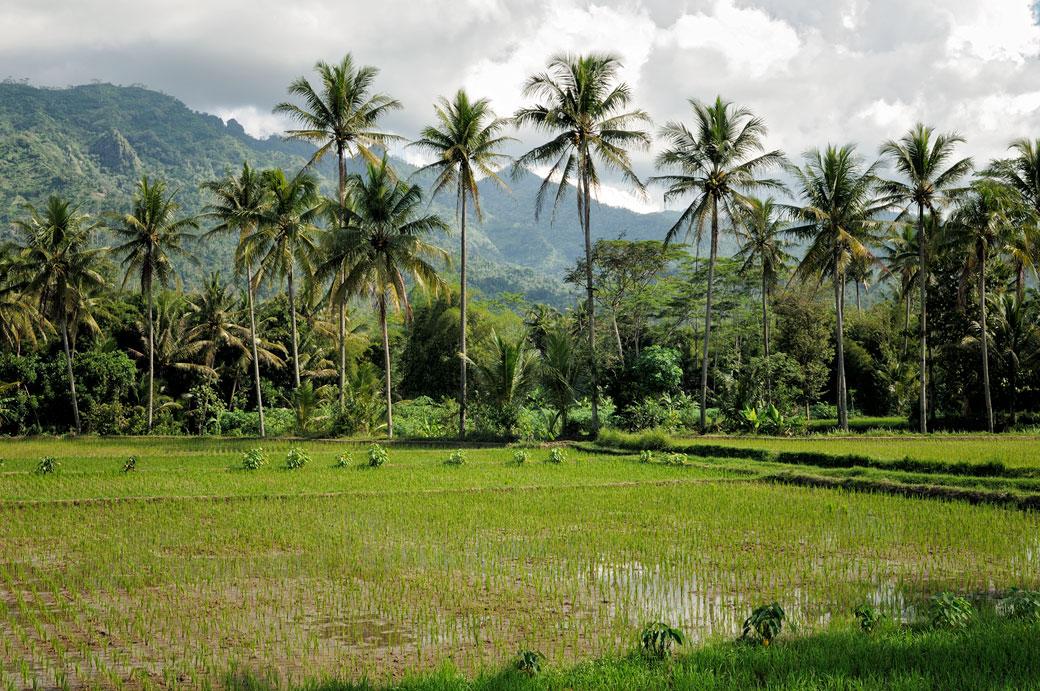 Rizières et palmiers au centre de Java près de Borobudur, Indonésie