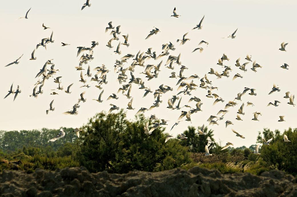 Mouettes rieuses au Parc Ornithologique du Pont de Gau, France