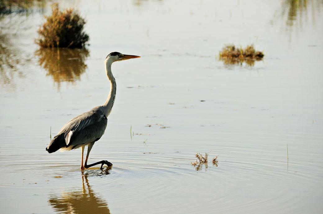 Héron dans un étang du Parc Ornithologique du Pont de Gau, France