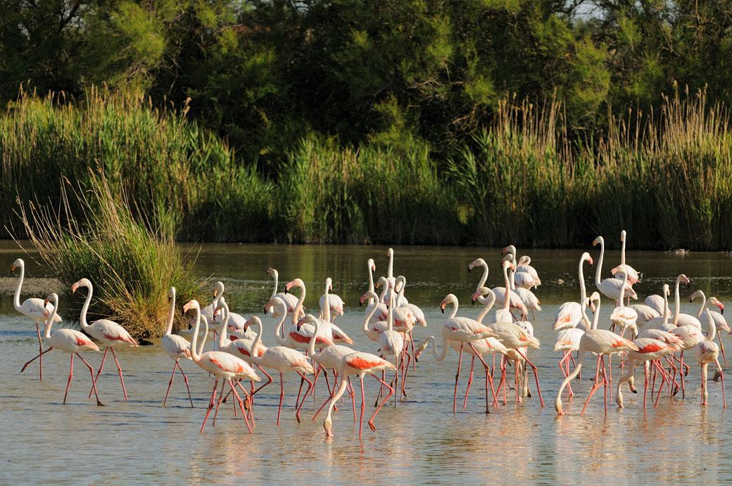 Groupe de flamants roses dans un étang de Camargue, France