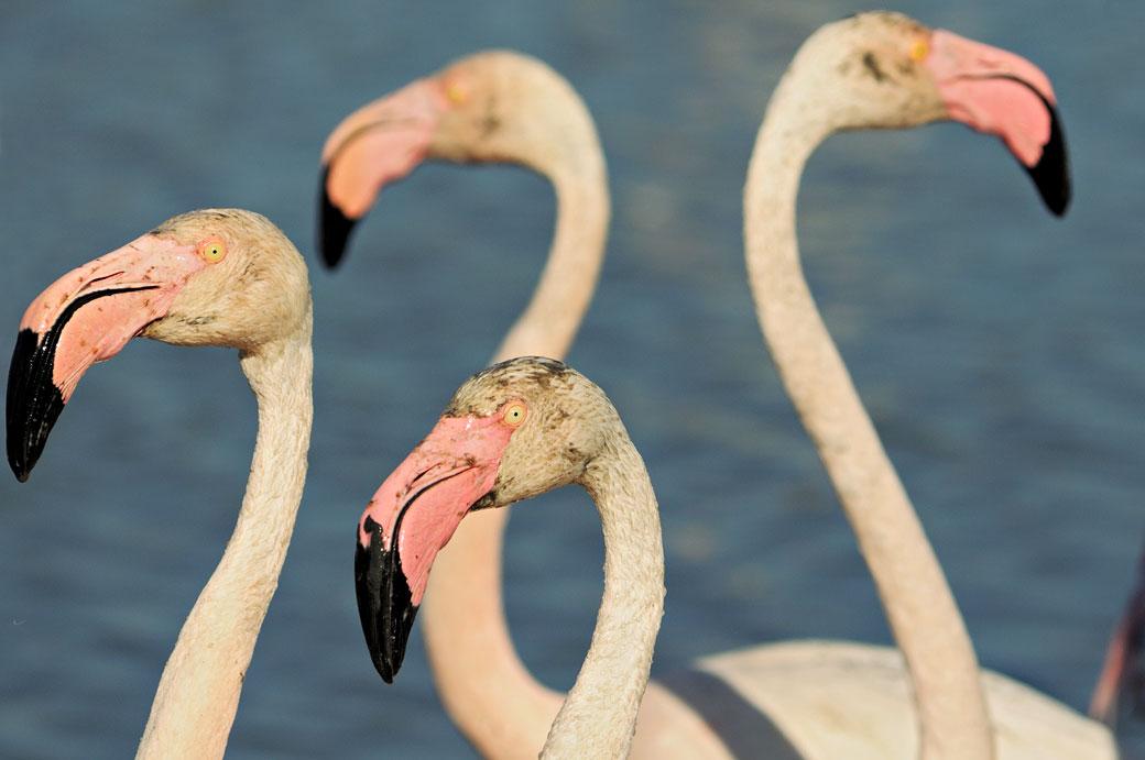 Têtes de flamants roses au Parc Ornithologique du Pont de Gau, France