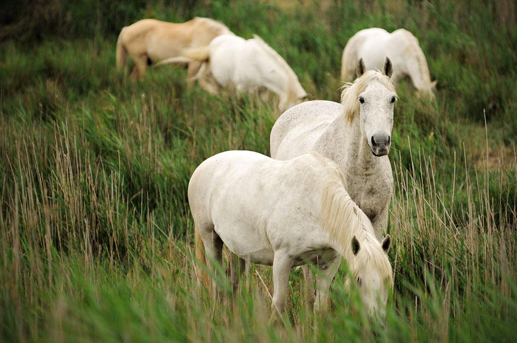Chevaux blancs Camarguais, France