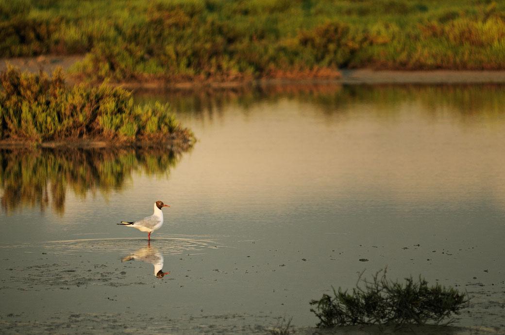 Mouette dans un étang de Camargue, France