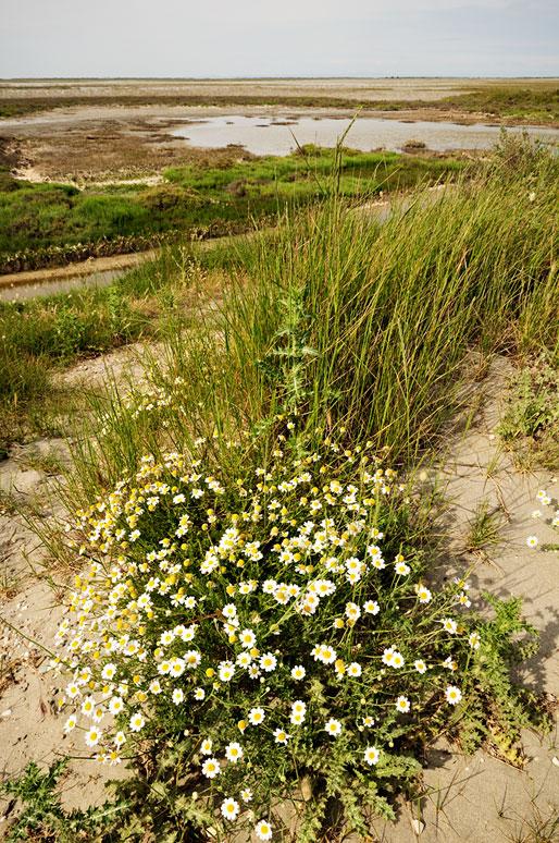 Herbes et fleurs le long de la Digue à la Mer, France
