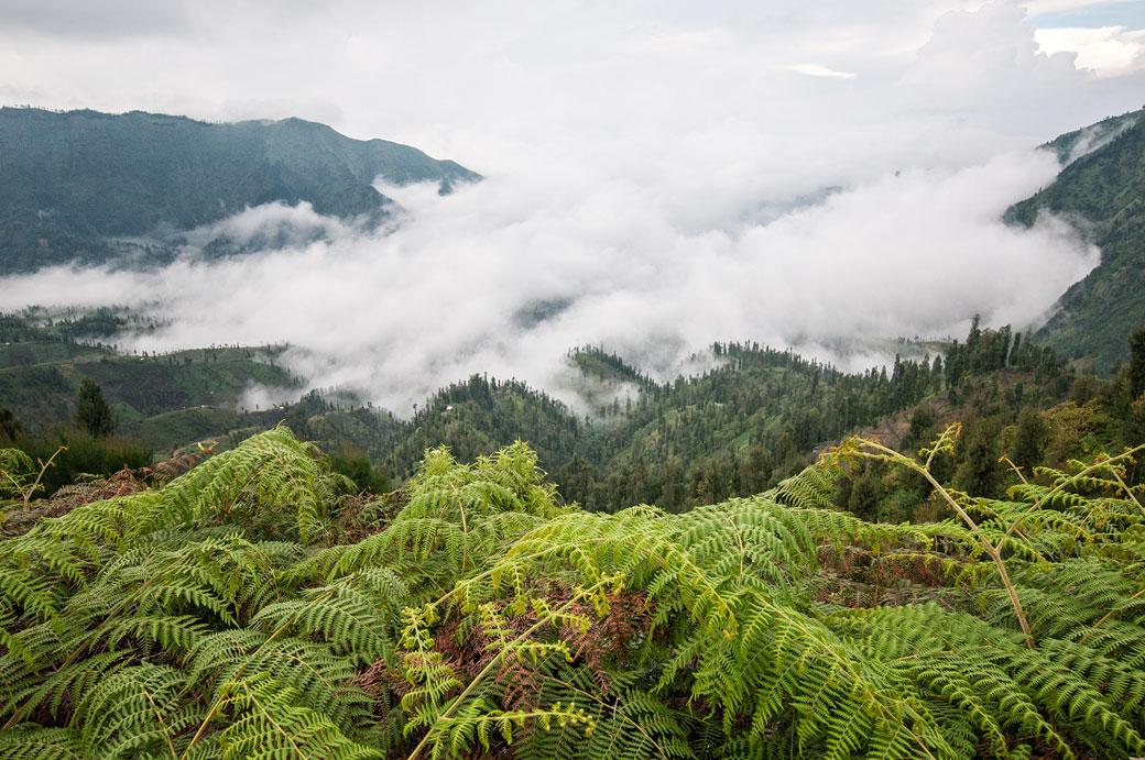 Fougères, brouillard et forêt de l'île de Java, Indonésie