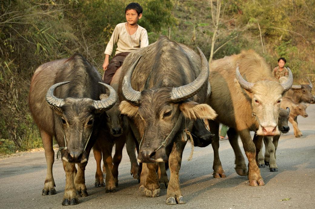 Jeune garçon sur un buffle près de Kengtung, Birmanie