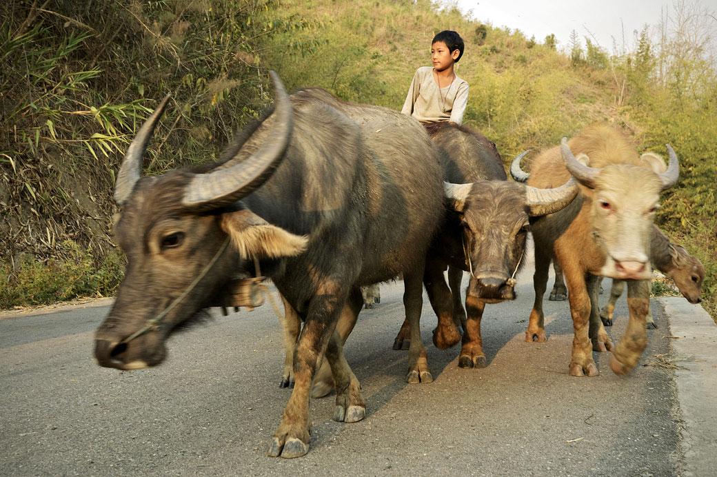 Troupeau de buffles et jeune garçon sur la route, Birmanie