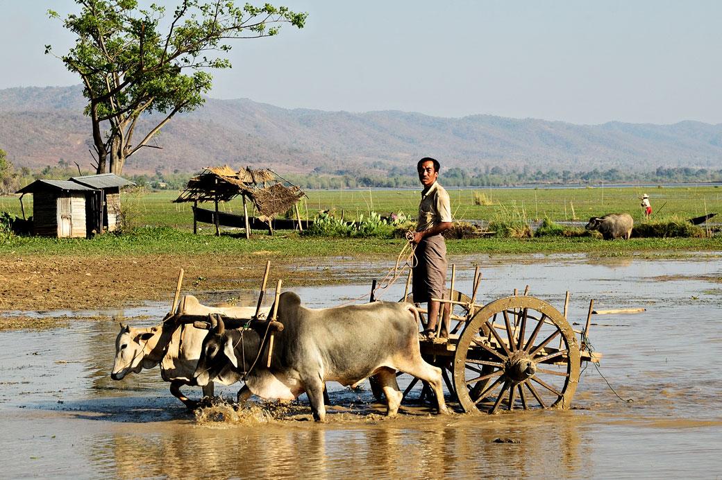 Homme sur un char à boeufs à Sagar, Birmanie