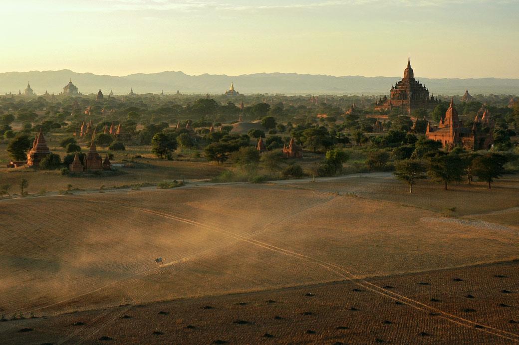 Vache isolée sur la plaine de Bagan, Birmanie