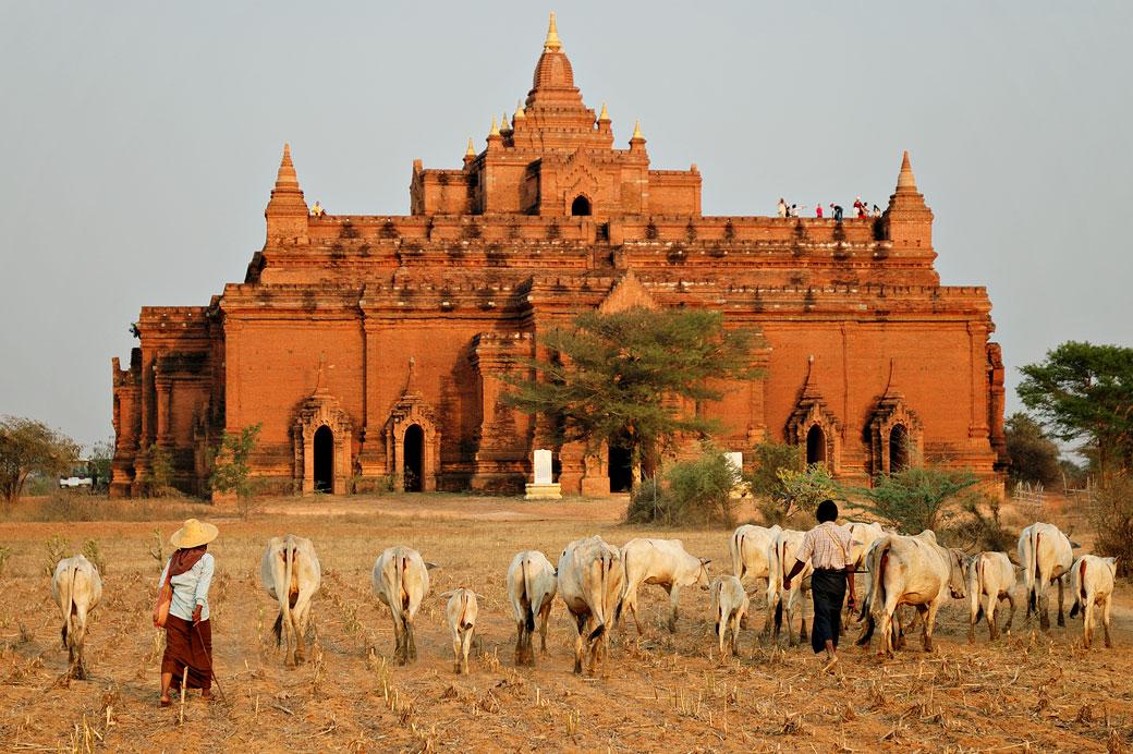 Troupeau de vaches devant le temple Pya Tha Da à Bagan, Birmanie