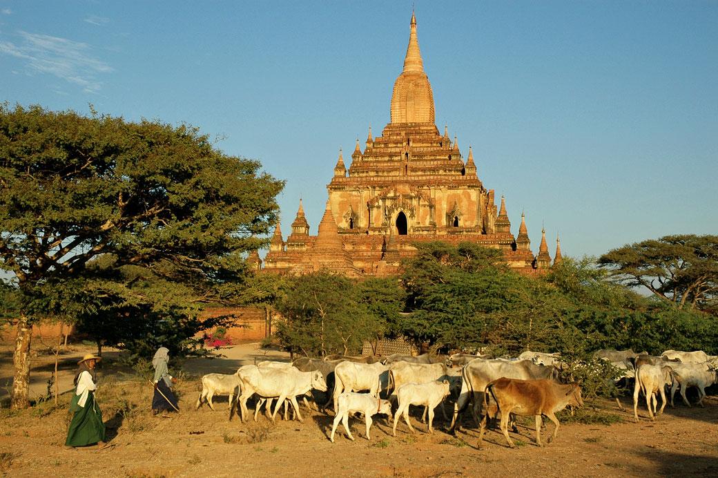 Troupeau de vaches devant le temple de Sulamani à Bagan, Birmanie