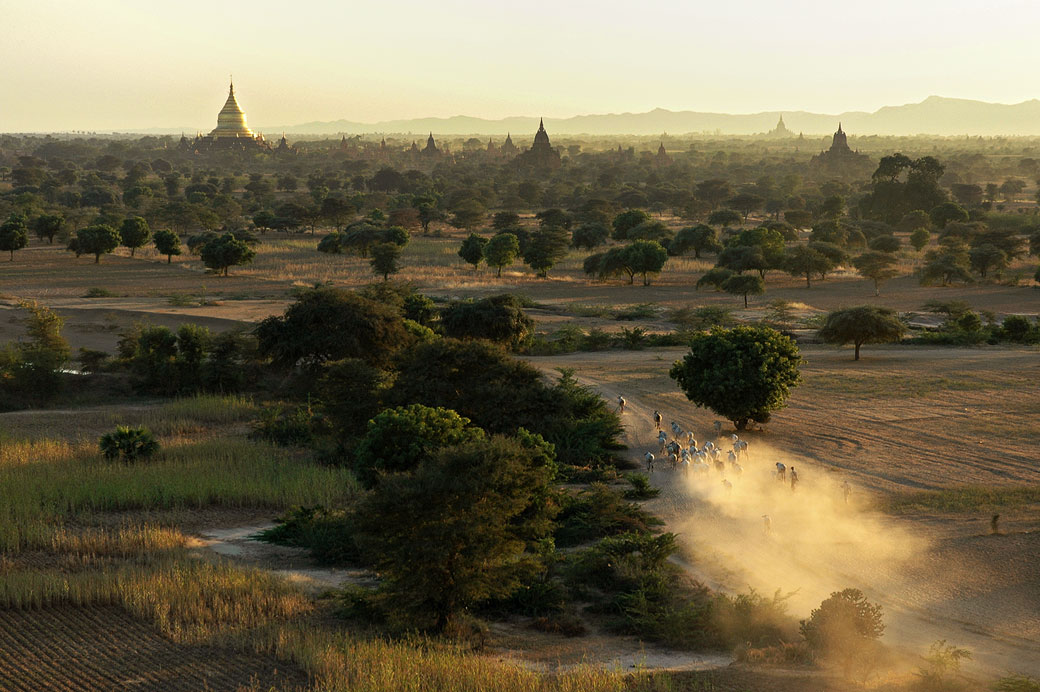Troupeau de vaches au milieu des temples de Bagan, Birmanie