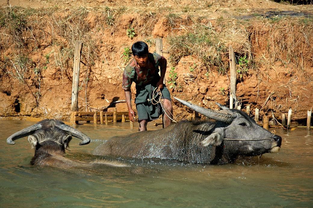 Deux buffles et leur gardien dans les eaux du lac Inle, Birmanie