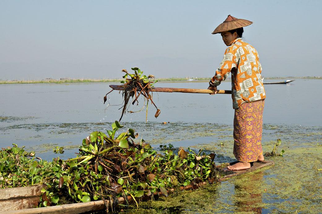 Femme qui travaille en ramassant des jacinthes d'eau sur le lac Inle