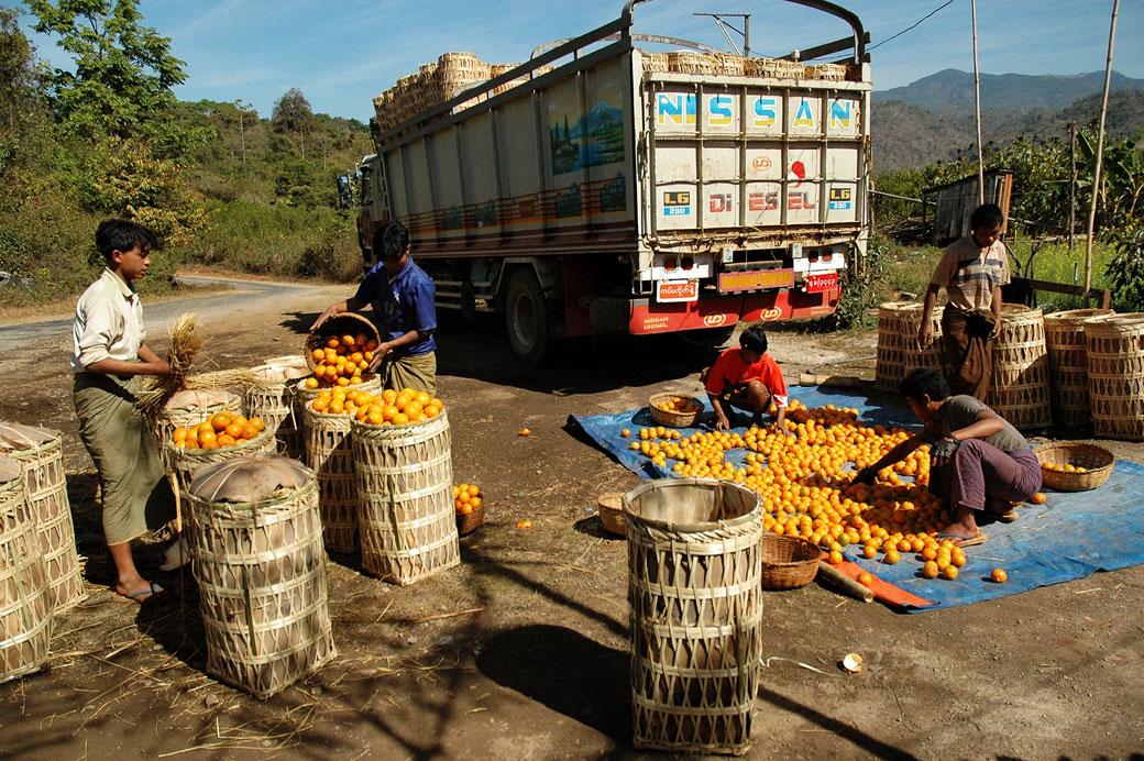 Récolte des mandarines dans l'état Shan, Birmanie
