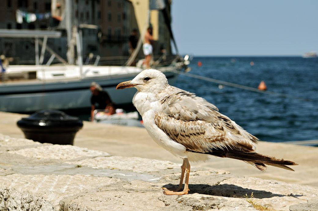 Une mouette à Rovinj en Istrie, Croatie