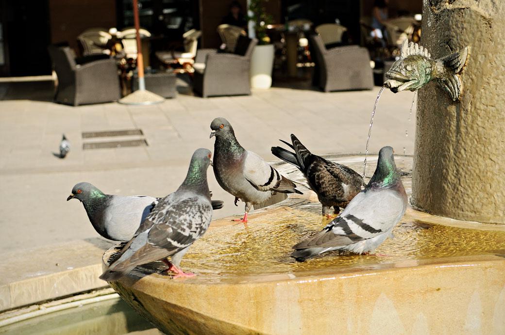 Pigeons dans une fontaine de Rovinj, Croatie