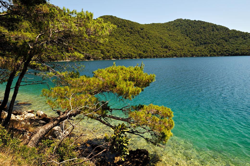 Pin d'Alep au bord du lac salé (Veliko jezero) à Mljet, Croatie