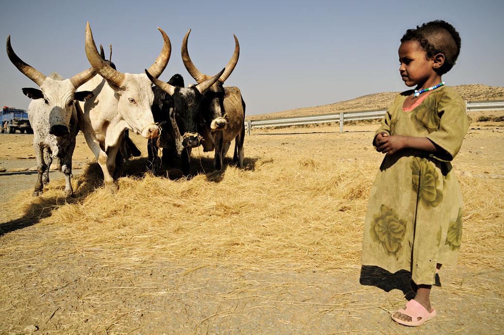 Dépiquage par des zébus dans le Tigray, Ethiopie