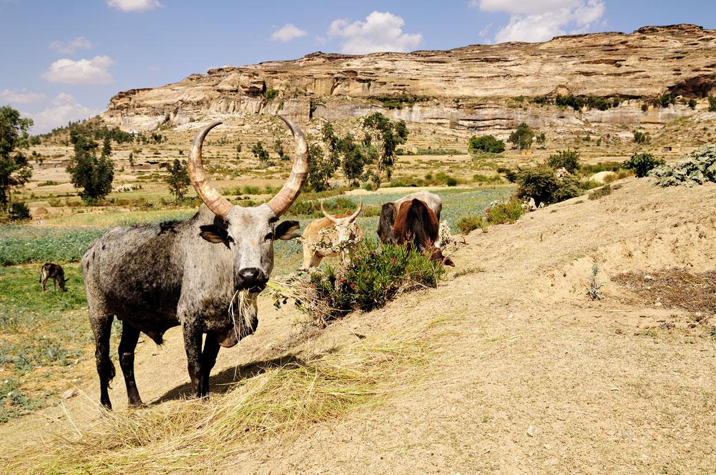 Zébus et montagnes de la région du Tigray, Ethiopie