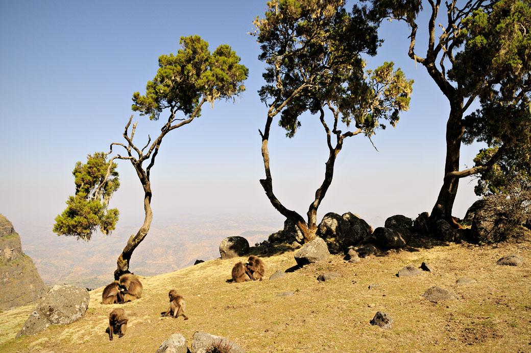 Arbes et singes Géladas dans les montagnes du Simien, Ethiopie