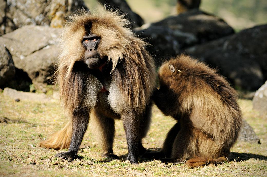 Fouille corporelle chez un singe Gélada, Ethiopie