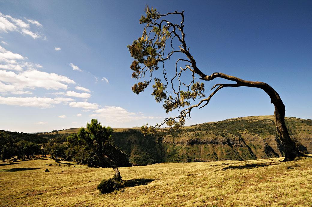 Arbre façonné par le vent dans le Simien, Ethiopie