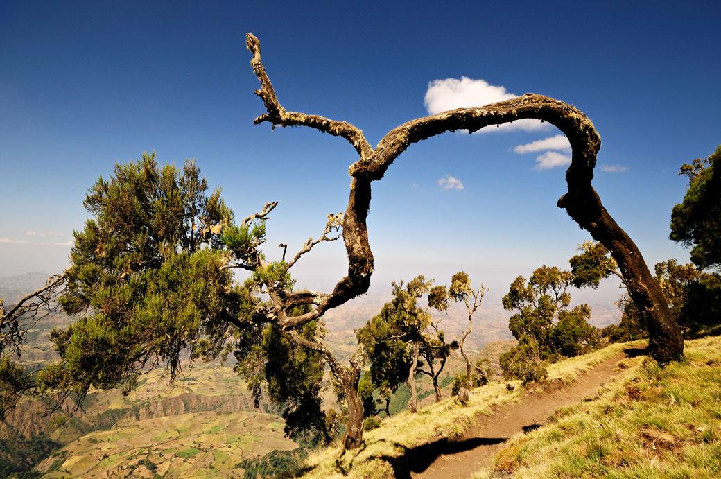 Arbre tordu dans les montagnes du Simien, Ethiopie