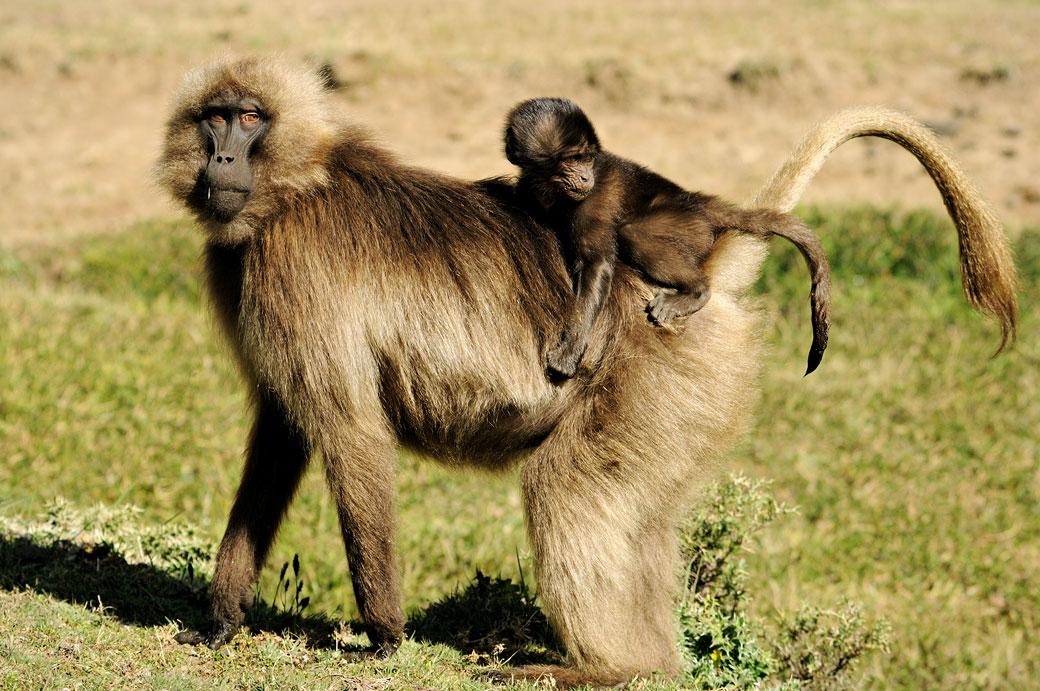 Petit singe Gélada sur le dos de sa maman, Ethiopie