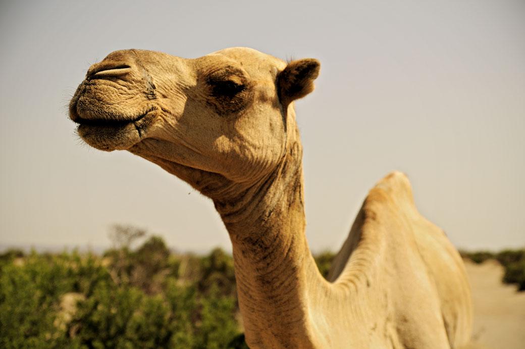 Dromadaire dans le désert du Danakil, Ethiopie
