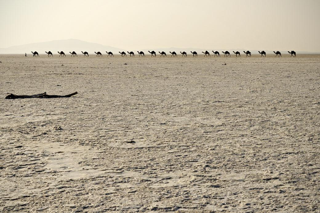 Caravane de dromadaires sur le lac Assale, Ethiopie