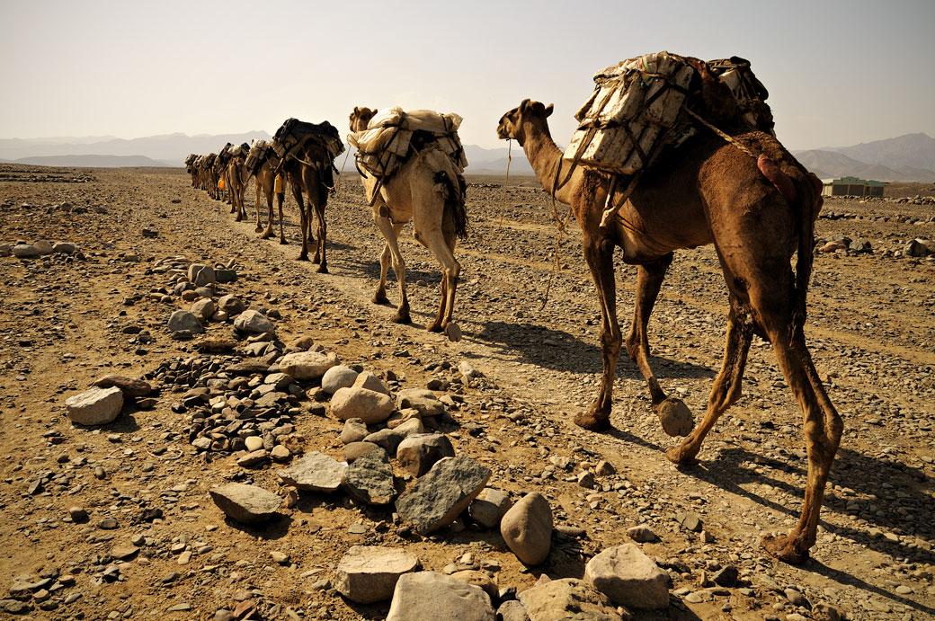 Caravane de dromadaires à Ahmed Ela, Ethiopie