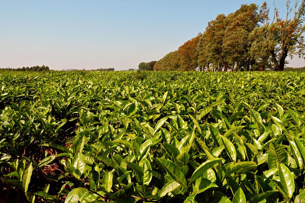 Plantation de thé à Thyolo, Malawi