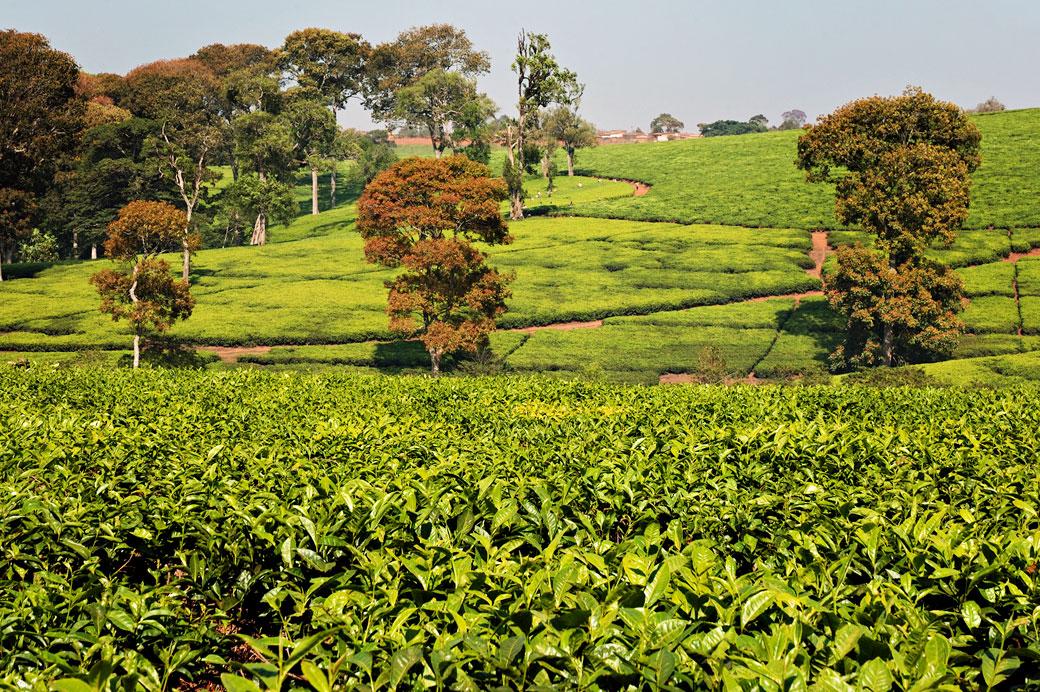 Champ de thé à Thyolo, Malawi