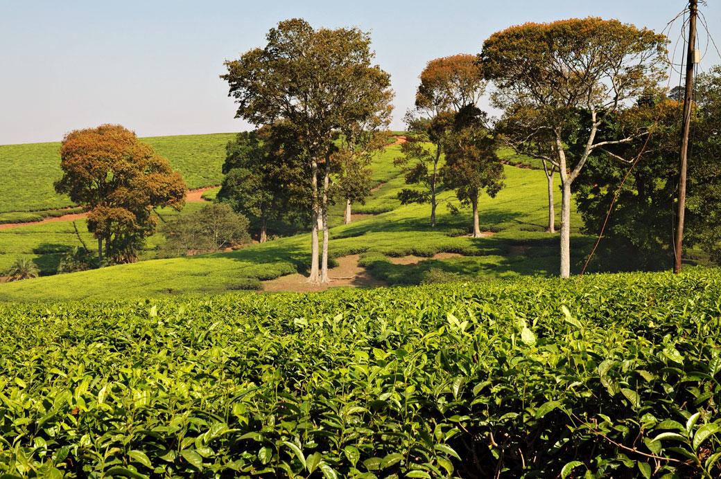 Arbres dans une plantation de thé à Thyolo, Malawi