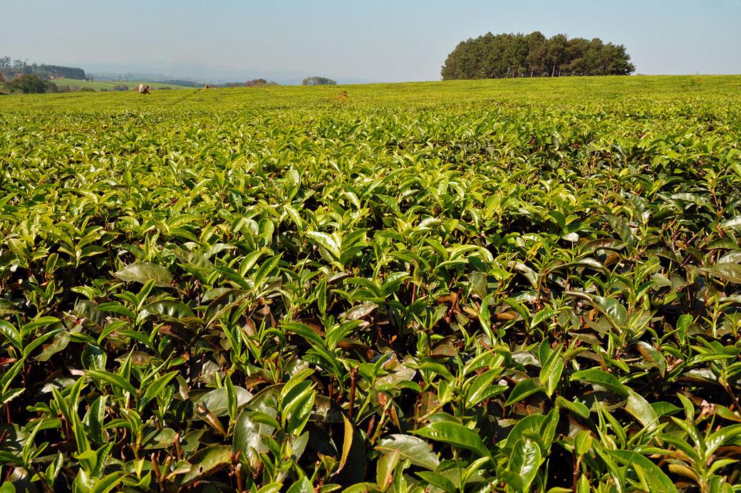 Culture de thé à Thyolo, Malawi