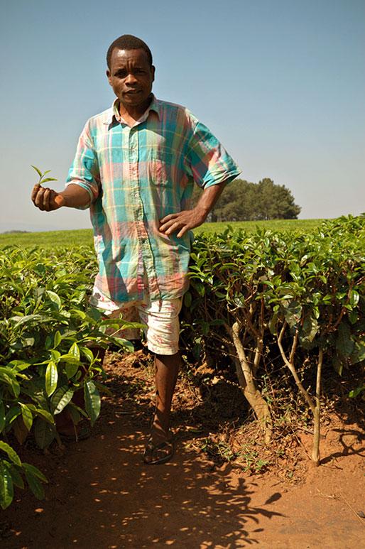 Homme dans un champ de thé à Thyolo, Malawi