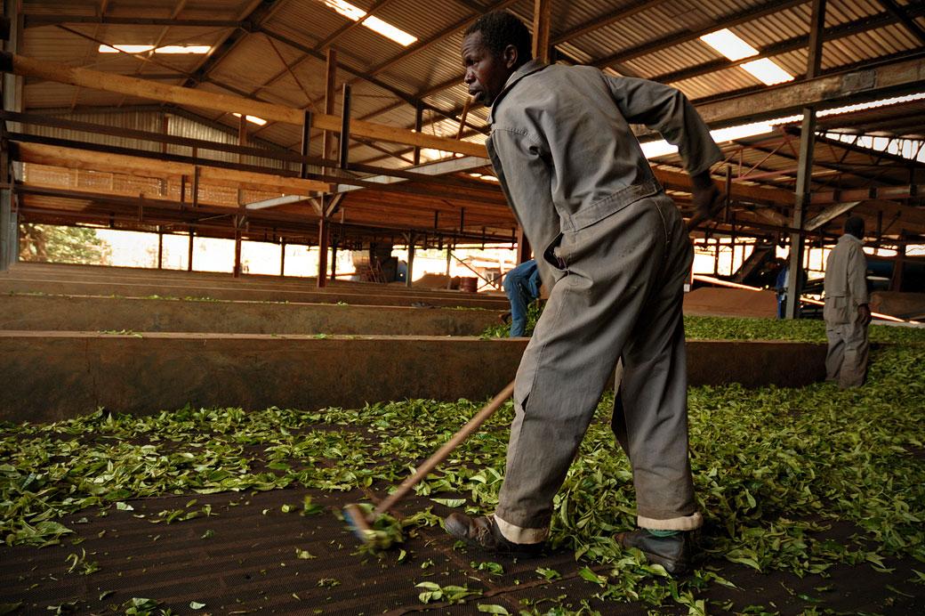 Séchage du thé dans une usine de Thyolo, Malawi