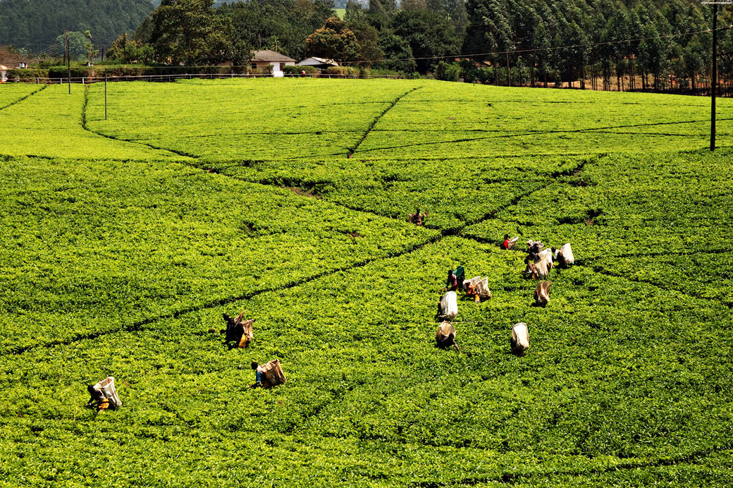 Récolte du thé dans un champ à Thyolo, Malawi