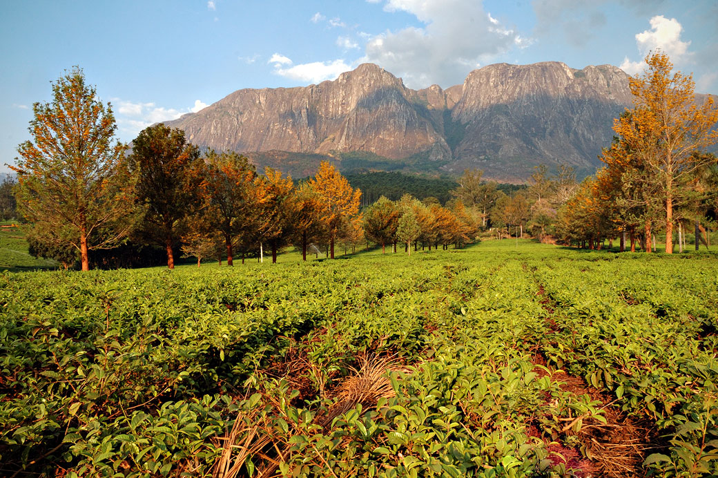 Plantation de thé devant le Mont Mulanje, Malawi