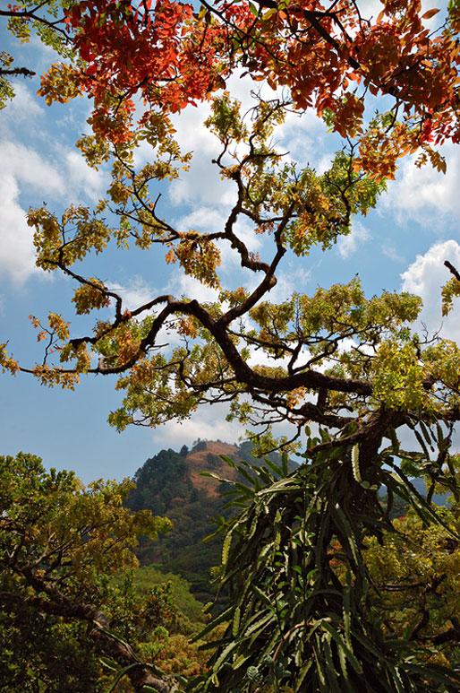 Arbres sur le plateau de Zomba, Malawi