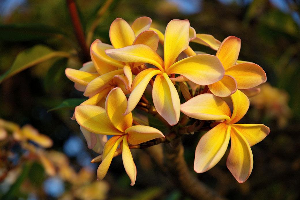 Fleurs jaunes de Frangipanier, Malawi
