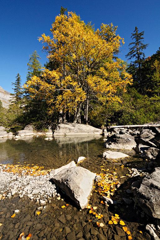 Bouleau en automne à côté d'une rivière à Derborence, Valais, Suisse