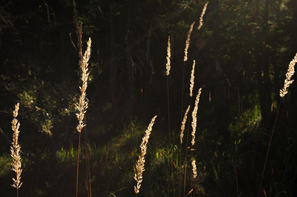 Herbes sèches dans la forêt de Derborence, Valais, Suisse